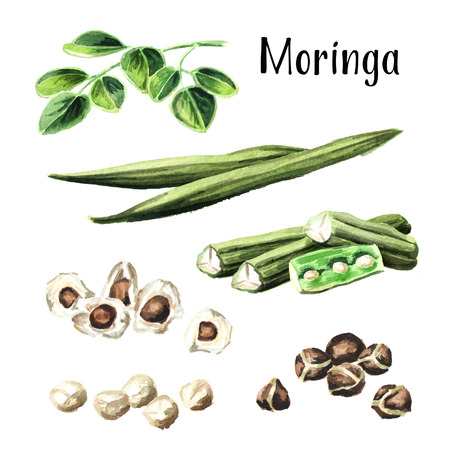 Herbal Moringa seeds set. Watercolor hand drawn illustration, isolated on white background Stock Photo