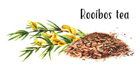 The Rooibos plant. Watercolor hand drawn illustration, isolated on white background Stock Photo