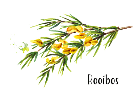 Rooibos branch, Aspalathus linearis. Watercolor hand drawn illustration, isolated on white background Archivio Fotografico - 110951524