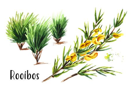 Rooibos plant, Aspalathus linearis. Stock fotó