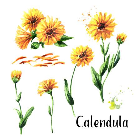 Calendula flower set. Watercolor hand drawn illustration  isolated on white background