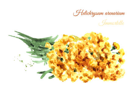 Dried sandless immortelle. Yellow flowers Helichrysum arenarium. Medicinal plant. Watercolor hand drawn illustration isolated on white background Stock fotó - 112581663