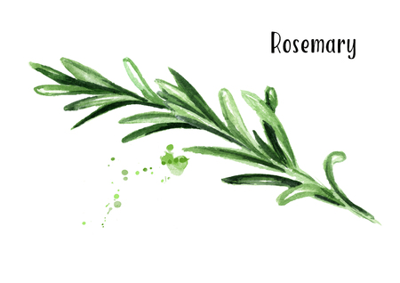 Rosemary. Watercolor hand drawn illustration, isolated on white