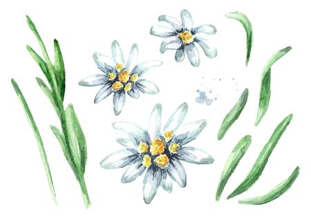 Edelweiss flower (Leontopodium alpinum) elements set, Watercolor hand drawn Imagens