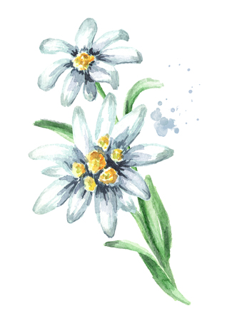 Edelweiss flower (Leontopodium alpinum) with leaves Watercolor hand drawn