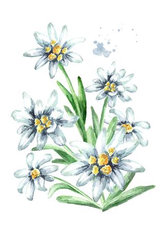Edelweiss flowers (Leontopodium alpinum) watercolor hand drawn