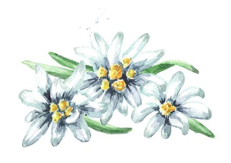 Edelweiss flowers (Leontopodium alpinum), Watercolor hand drawn