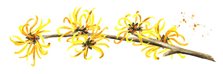 Blossoming branch of a witch hazel medicinal plant Hamamelis. Watercolor hand drawn illustration, isolated on white background