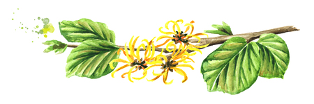 Blossoming branch of a witch hazel with leaves and flowers, medicinal plant Hamamelis. Watercolor hand drawn illustration  isolated on white background