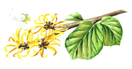 Blossoming branch of a witch hazel with leaves and flowers, medicinal plant Hamamelis. Watercolor hand drawn illustration, isolated on white background