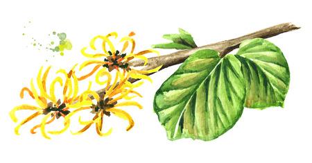 Branche en fleurs d'hamamélis avec feuilles et fleurs, plante médicinale Hamamelis. Illustration aquarelle dessinée à la main, isolée sur fond blanc