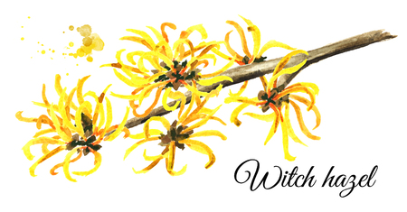 Blossoming branch of a witch hazel, medicinal plant Hamamelis. Watercolor hand drawn illustration, isolated on white background 스톡 콘텐츠