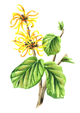 Branch of a witch hazel with leaves and flowers  medicinal plant Hamamelis. Watercolor hand drawn illustration, isolated on white background 스톡 콘텐츠