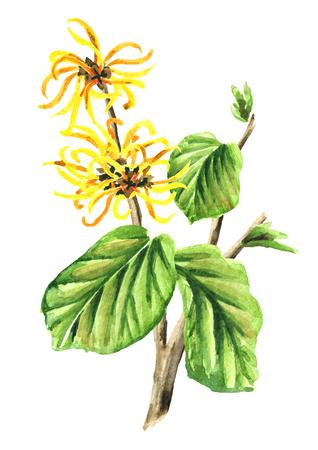 Branche d'hamamélis avec feuilles et fleurs plante médicinale Hamamelis. Illustration aquarelle dessinée à la main, isolée sur fond blanc