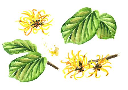 Hamamélis avec feuilles et fleurs, plante médicinale Hamamelis. Illustration aquarelle dessinée à la main, isolée sur fond blanc