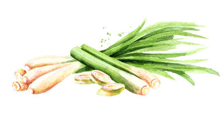 Fresh lemongrass wirh slices. Watercolor hand drawn illustration, isolated on white background