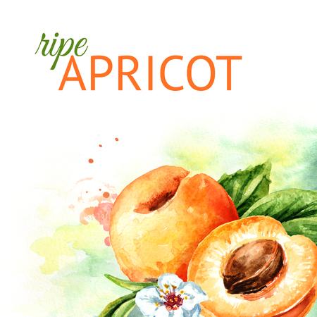Apricot Watercolor hand drawn