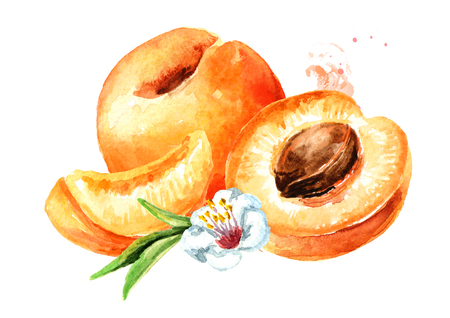 Ripe apricot watercolor hand drawn