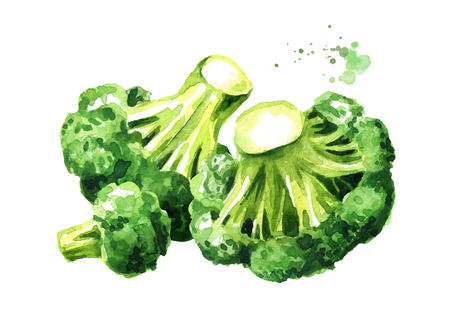 Fresh broccoli. Hand drawn watercolor illustration, isolated on white background