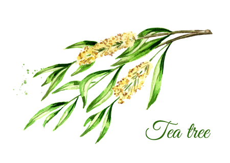 Tea tree branch. Cosmetics and medical plant. Watercolor hand drawn illustration, isolated on white background