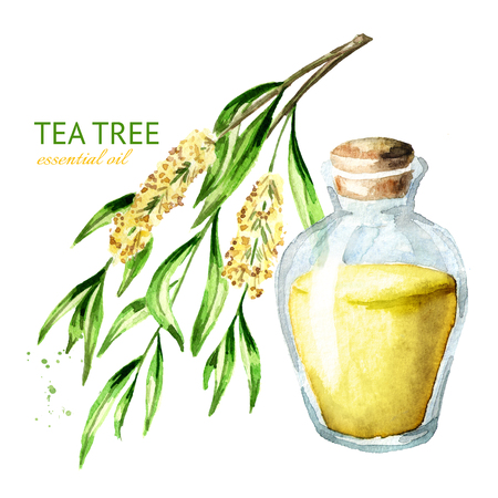 Tea tree essential oil. Medicinal  and cosmetics plant, Watercolor hand drawn illustration isolated on white background Stock Photo