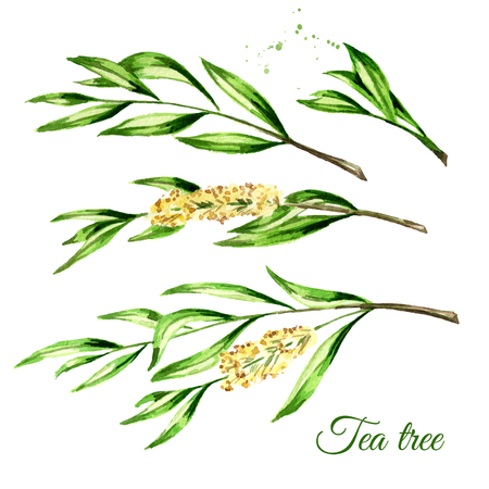Tea tree set. Cosmetics and medical plant. Watercolor hand drawn illustration, isolated on white background Stock Photo