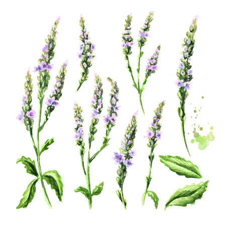 Healing Verbena officinalis set. Watercolor hand drawn illustration, isolated on white background Banco de Imagens