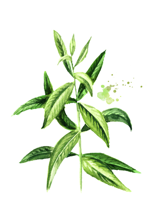 Lemon verbena sprig for herb tea, for aromatherapy. Watercolor hand drawn illustration, isolated on white background
