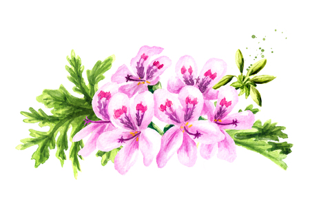 Pelargonium graveolens or Pelargonium x asperum, geranium flower with leaves. Watercolor hand drawn illustration  isolated on white background