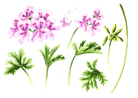 Pelargonium graveolens or Pelargonium x asperum, geranium plant elements set, flowers with leaves. Watercolor hand drawn illustration isolated on white background