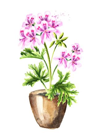 Pelargonium graveolens or Pelargonium x asperum, geranium plant in the flower pot. Watercolor hand drawn illustration, isolated on white background Stock Photo