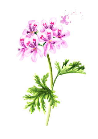 Pelargonium graveolens or Pelargonium x asperum, geranium plant, flower with leaves. Watercolor hand drawn illustration, isolated on white background