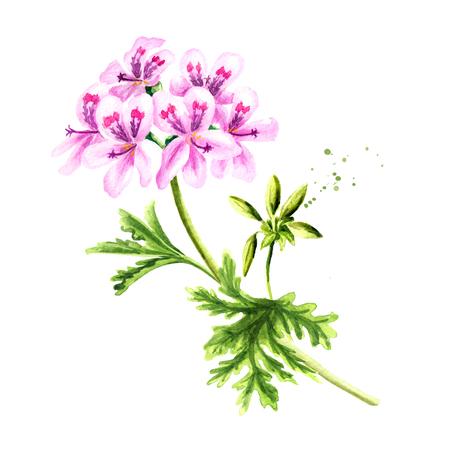 Pelargonium graveolens or Pelargonium x asperum, geranium plant, flower with leaves. Watercolor hand drawn illustration, isolated on white background Stock Photo