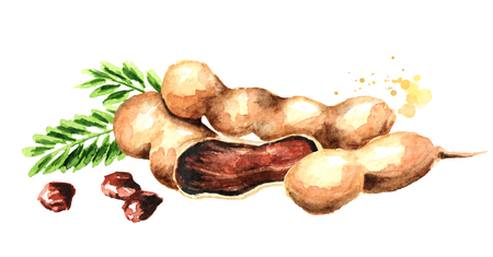 Fresh tamarind fruits and leaves. Watercolor hand drawn horizontal illustration, isolated on white background