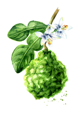Fresh bergamot fruit on the branch. Watercolor hand drawn illustration, isolated on white background Standard-Bild - 124397969