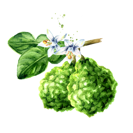 Fresh bergamot fruit with leaf and flower on the branch. Watercolor hand drawn illustration, isolated on white background Standard-Bild - 124397972