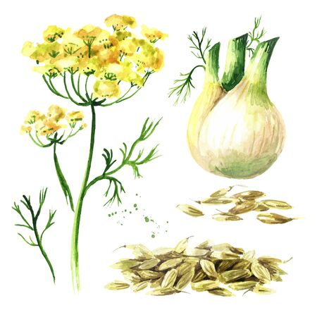 Fresh fennel bulb with leaves, flowers and seeds set.