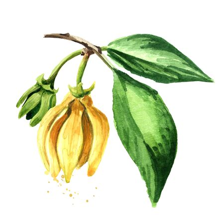 Ylang-Ylang branch with yellow flower and green leaves.