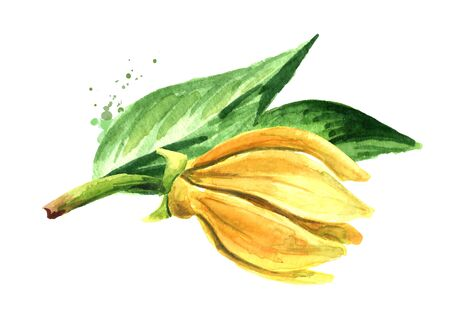 Ylang-Ylang branch with yellow flower. Cananga odroata. Zdjęcie Seryjne - 129844035