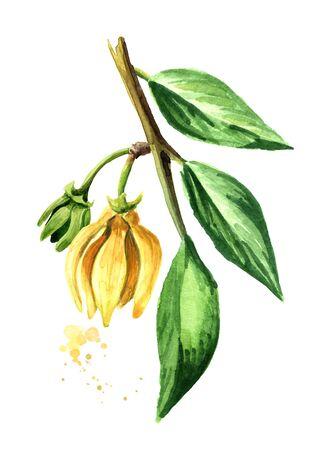 Ylang-Ylang branch with yellow flower. Cananga odroata.