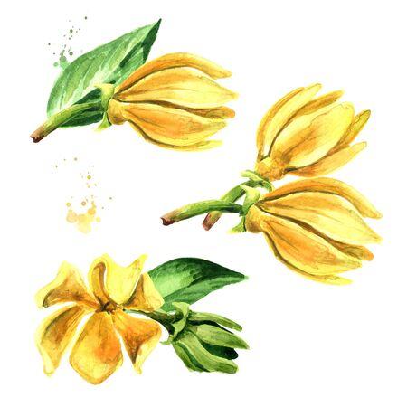 Ylang-Ylang yellow flower set on white