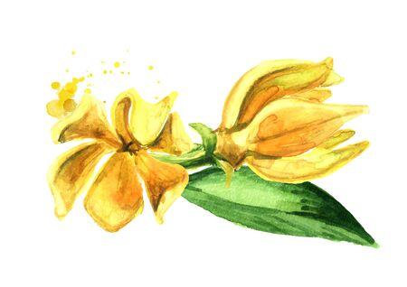 Ylang-Ylang yellow flower on white Zdjęcie Seryjne