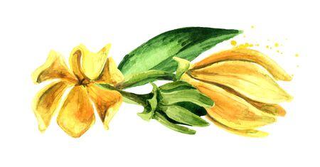 Ylang-Ylang yellow flowers Cananga odroata on white