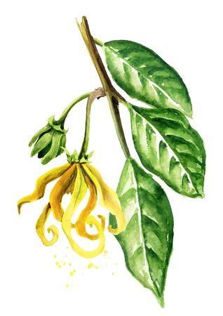 Ylang-Ylang branch with yellow flower. Zdjęcie Seryjne - 131569547