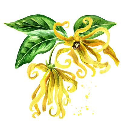 Ylang-Ylang branch with yellow flowers and green leaves
