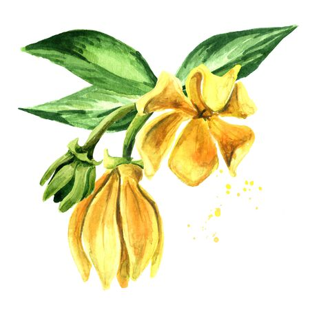 Ylang-Ylang branch with yellow flowers and green leaves. Zdjęcie Seryjne - 131569546