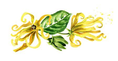 Ylang-Ylang yellow flowers Cananga odroata. Zdjęcie Seryjne - 131569936