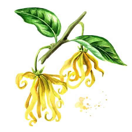 Ylang-Ylang yellow flowers with green leaf Zdjęcie Seryjne - 131569940