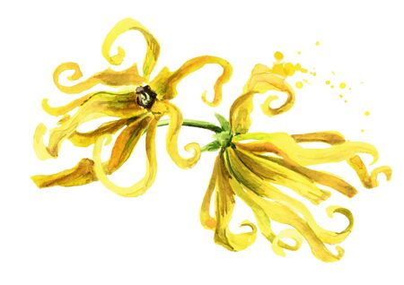 Ylang-Ylang yellow flowers isolated on white Zdjęcie Seryjne