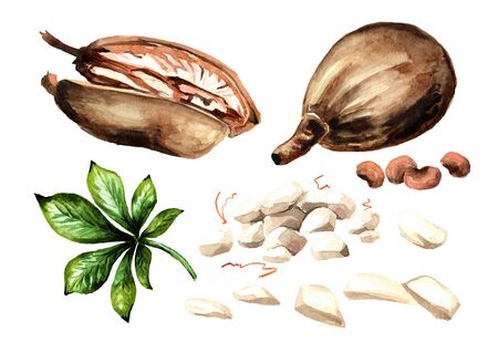 Baobab fruit with dried pulp, seeds and green leaf set. Superfood. Watercolor hand drawn illustration, isolated on white background